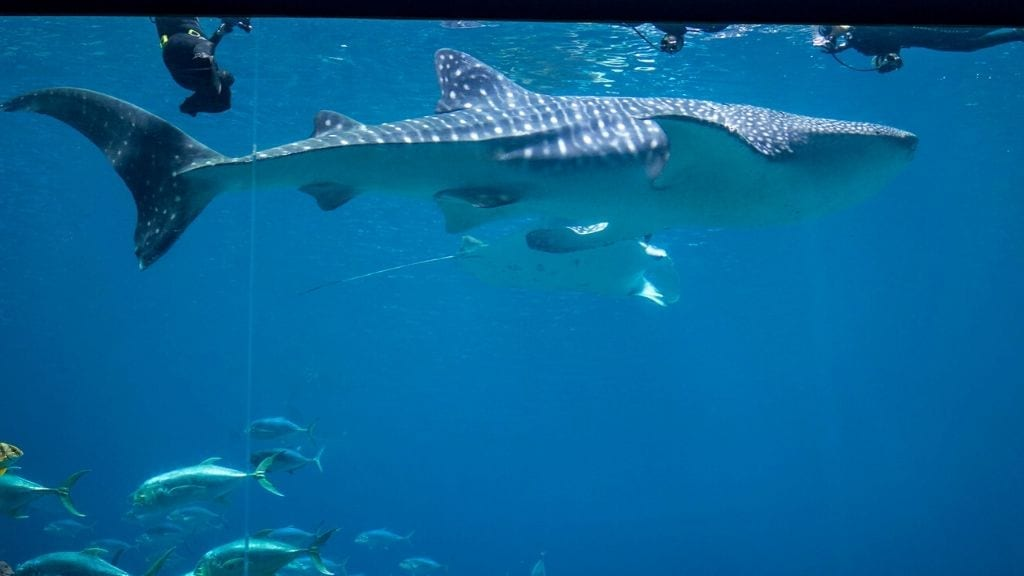 Kadealo, Close Animal Encounters, Snorkelling with Whale Sharks, Tofo, Mozambique