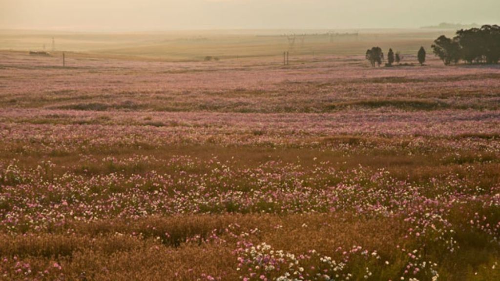 Kadealo, Flowers in South Africa, Cosmos Country