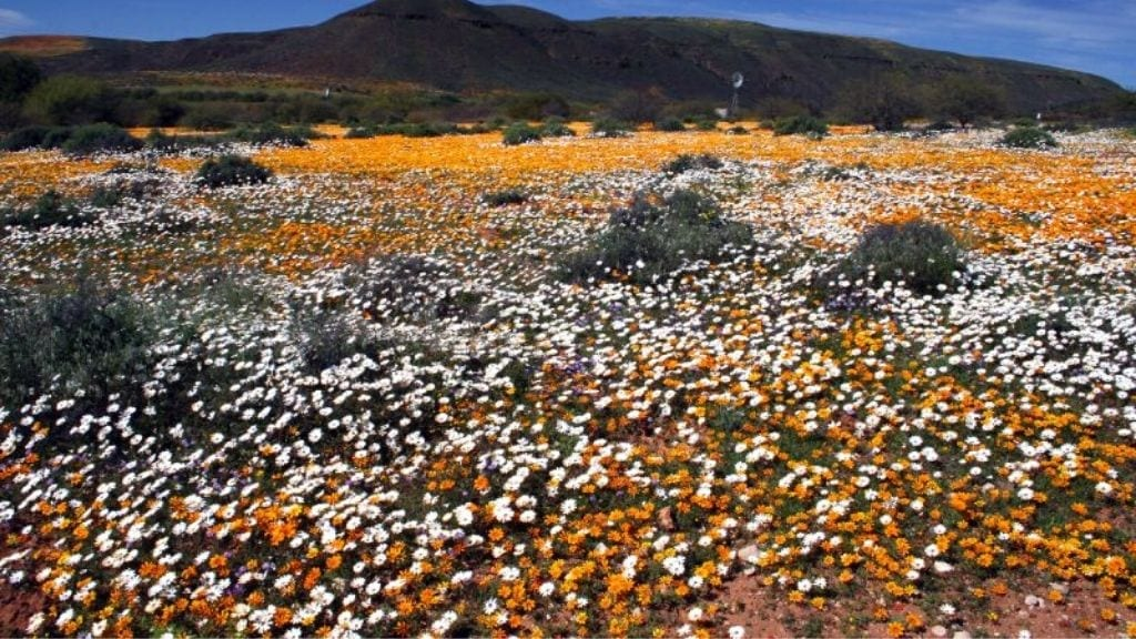 Kadealo, Flowers in South Africa