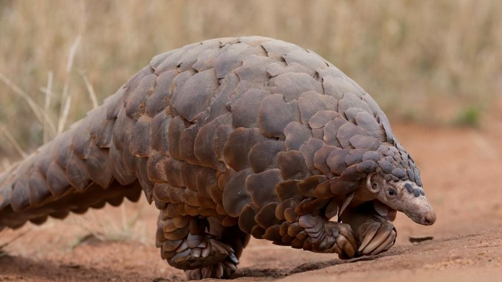 Kadealo, African Animals, Pangolin