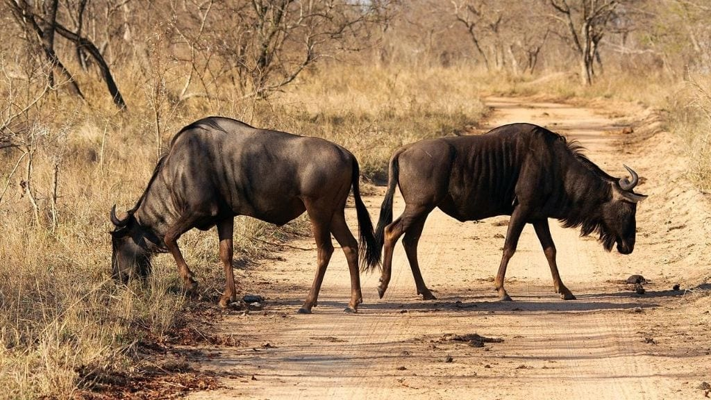 Kadealo, African Grazers and Browsers, Wildebeest